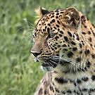 close up portrait of a leopard by alan tunnicliffe