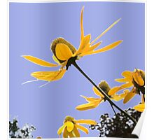 1015 yellow flowers 1 square blue sky Poster