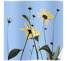 1022 yellow flowers 4 square blue sky Poster