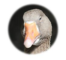 Domestic Goose / Hausgans Photographic Print