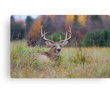 Autumn in Canada - White tailed deer Buck Canvas Print