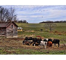 Hungry Cows Photographic Print