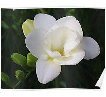 White Freesia Blossom Poster