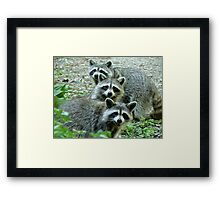 Three Raccoon Framed Print