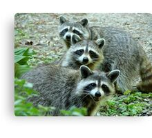 Three Raccoon Canvas Print