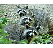 Three Raccoon Photographic Print