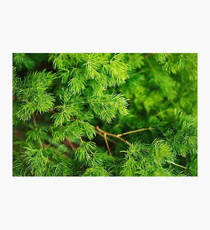 Coniferous nature background Photographic Print