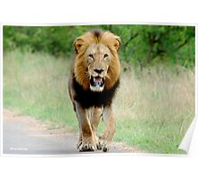 RIGHT DIRECTION - THE LION - Panthera leo - LEEU Poster