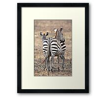 Plains Zebra,  Serengeti National Park, Tanzania.  Framed Print