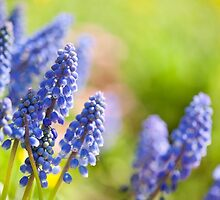 Blue Muscari Mill flowers close-up in the spring  by Arletta Cwalina