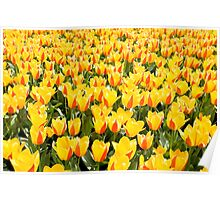yellow and red Stresa tulips abloom  Poster