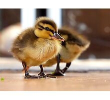 Ducklings - NZ Photographic Print