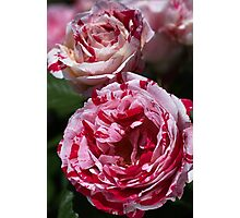 Double Toned Rose Photographic Print