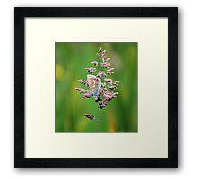Common Blue Butterfly Framed Print