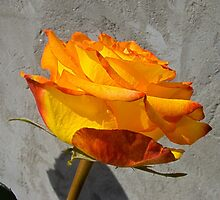 Orange roses 3 by AnnArtshock