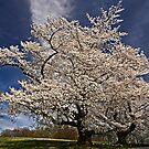When the cherries bloom, Spring is here. by cclaude