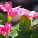 Pink Clover by Chet  King