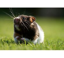 Hamster in the Grass Photographic Print