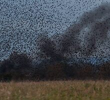 Starling Roost! by Lauren Tucker