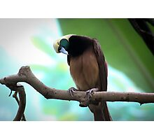 Greater Bird Of Paradise Photographic Print
