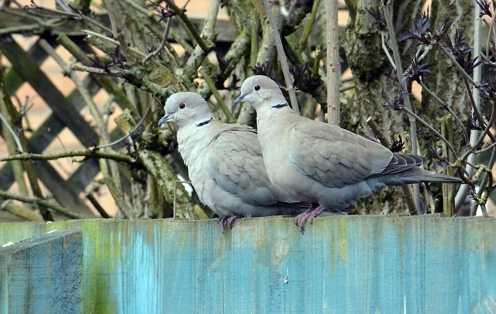 Collared Doves (Streptopelia decaocto) by Chris Monks