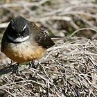 South Island Fantail by Mark Williamson