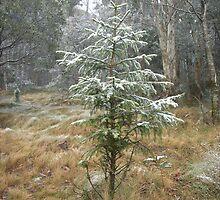 Snow bush conifer by Paul Hosking