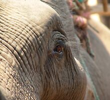 Chiang Rai, Thailand, Handi the Elephant by Lucas Packett