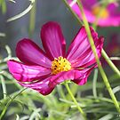 pretty cosmos by Jeannine de Wet