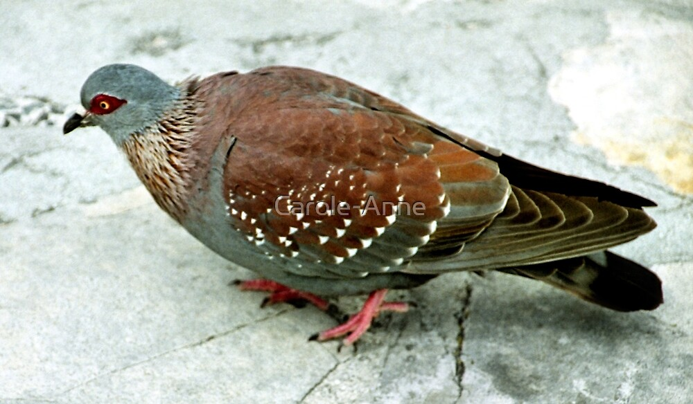 Rock Pigeon, Table Mountain, South Africa by Carole-Anne