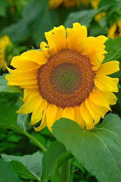 sunflower by Brennen Cole