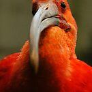 red bird by Jason Ross