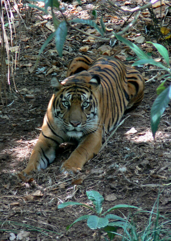 tiger  by wyvex