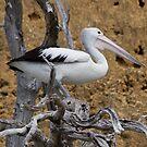 Pelican.3570IMGP by Murray Wills