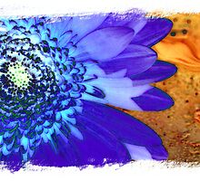 Gerbera #3 - A Floral Series by Ann Williams-Fitzgerald