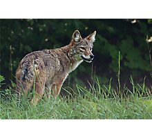 Eastern Coyote Photographic Print