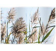 Backlit Grass Poster