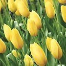 Yellow Tulips by Kathryn Steel