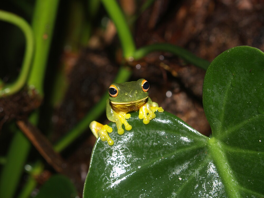 frog by RainforestHarley