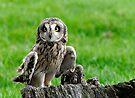 Short Eared Owl Asio flammeus by David Carton