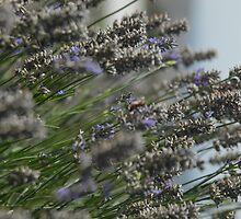 Lavender by Borth