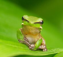 green frog stare by rosemarie butler