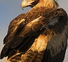 Wedge-tailed eagle by Rob Gray