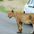 AND THEN ALL WINDOWS WERE CLOSED - THE LION – Panthera leo by Magaret Meintjes