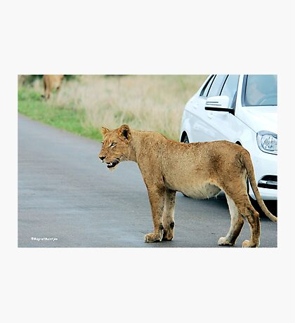AND THEN ALL WINDOWS WERE CLOSED - THE LION – Panthera leo Photographic Print