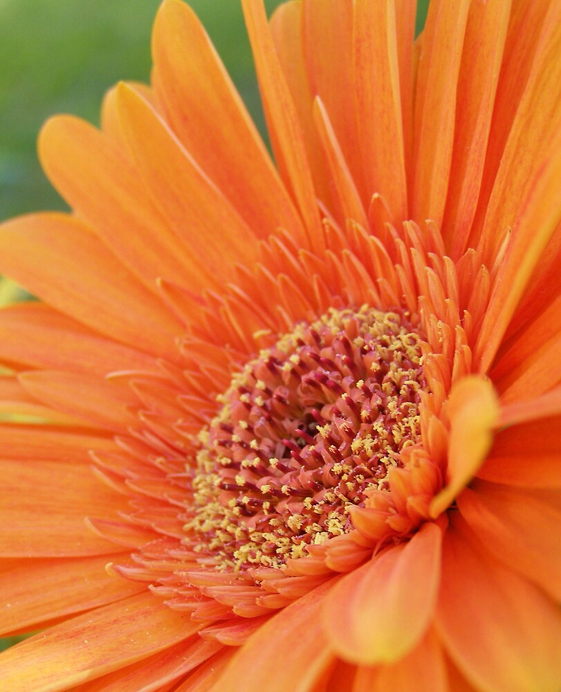 orange gerbra by bex1