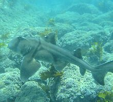 Port Jackson Shark by Wormfish