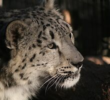 Snow Leopard 1 by John Clarke