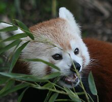 Red Panda by John Clarke