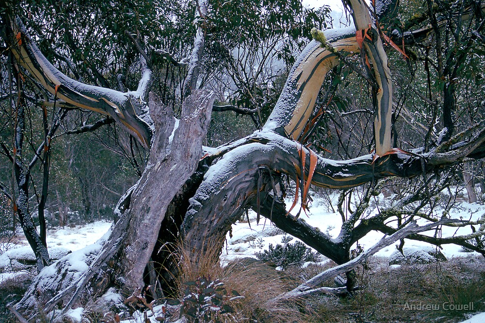 snowgum by Andrew Cowell